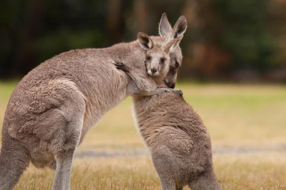 Zoo-Besucher tötet Känguru mit Steinen