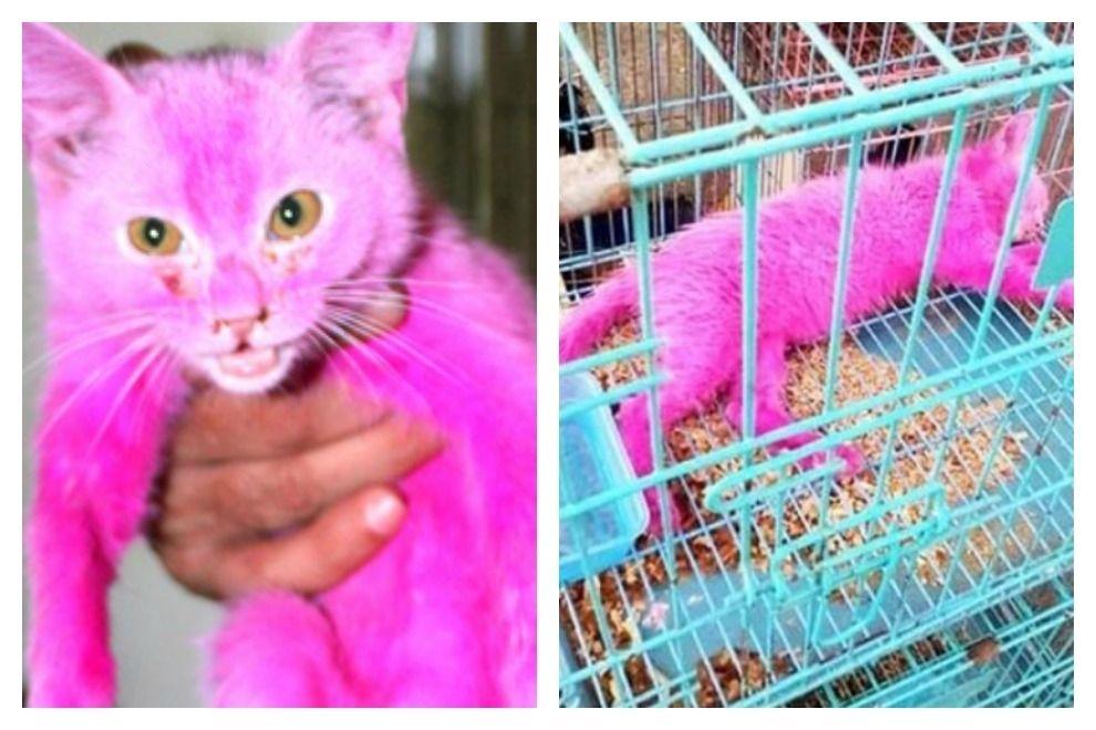 Verkäufer taucht Kätzchen in giftige Farbe, um es teurer verkaufen zu können