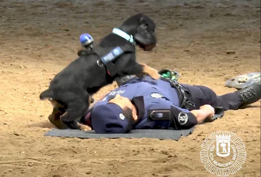 Tierische Reanimation: Polizeihund aus Madrid wird zum Internet-Hit