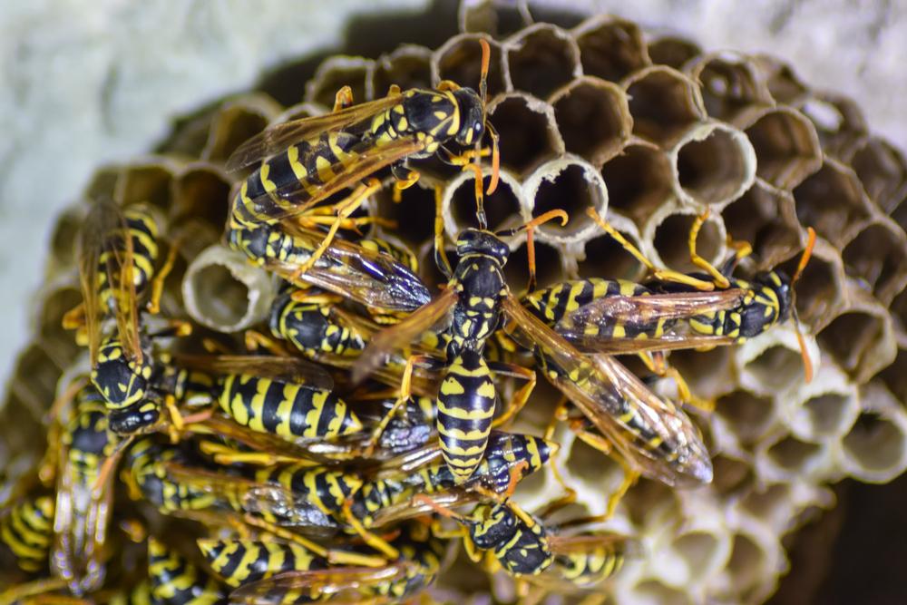 Im Sommer 2018 erwartet uns eine Wespenplage