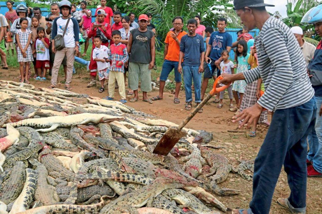 Aus Rache: Indonesische Dorfbewohner töteten 300 Krokodile