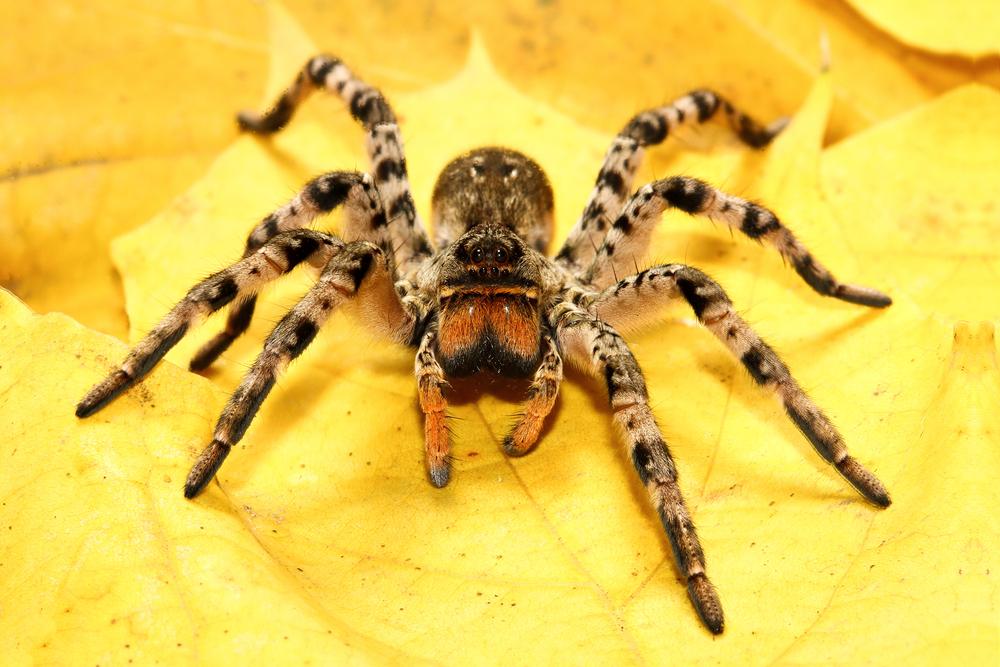 Tarantel wird in Österreich heimisch: Mehr Spinnen wegen Klimawandel