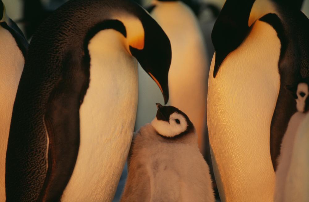 Schwule Pinguine mit Kinderwunsch entführen Küken