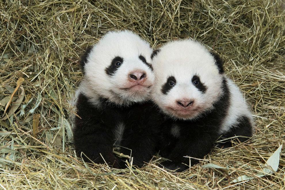 Die Panda-Zwillinge sind getauft
