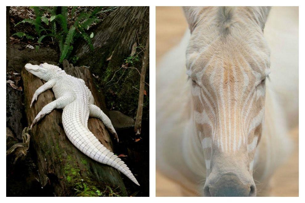 So wunderschön und einzigartig sind Albino-Tiere