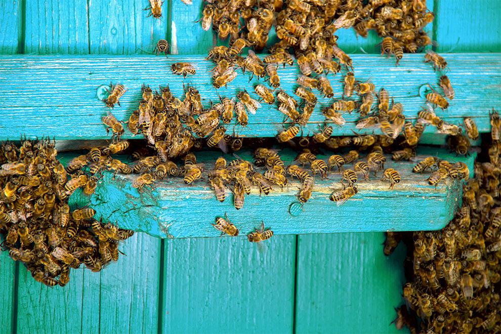 Bei diesem Schwangerschafts-Shooting mit 20.000 Bienen bleibt einem der Atem weg