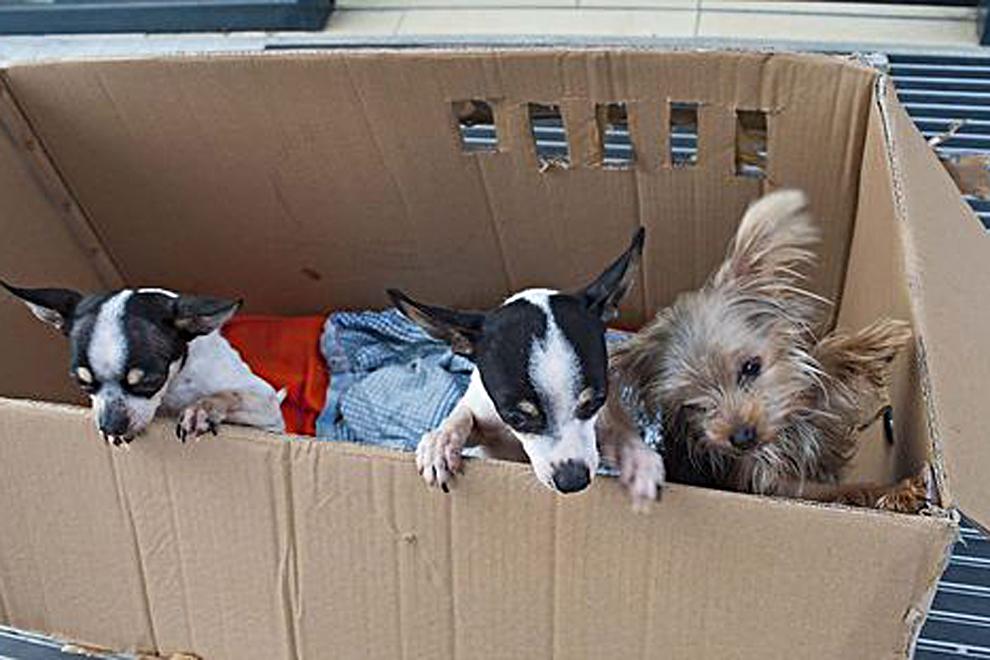 Drei kleine Hunde in Karton ausgesetzt