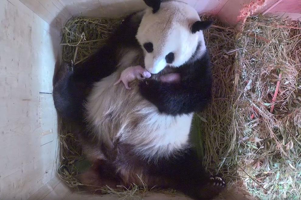 Es sind Panda-Zwillinge!