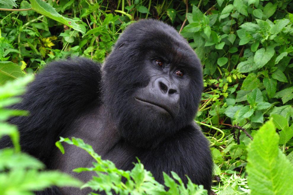 Gorilla warnt Menschheit vor Klimawandel