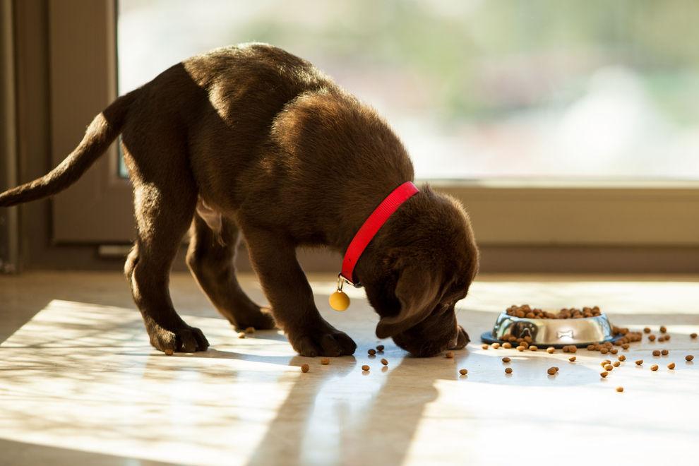 Den Hund vegan ernähren
