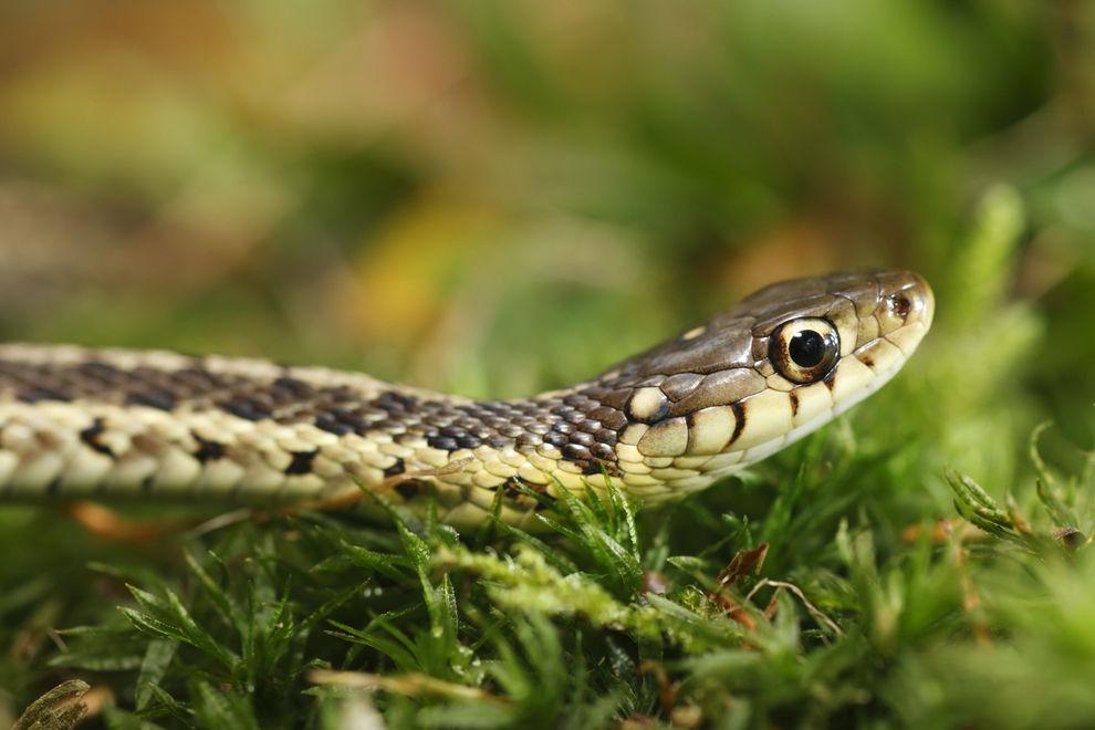 In Österreich wimmelt es gerade vor Schlangen