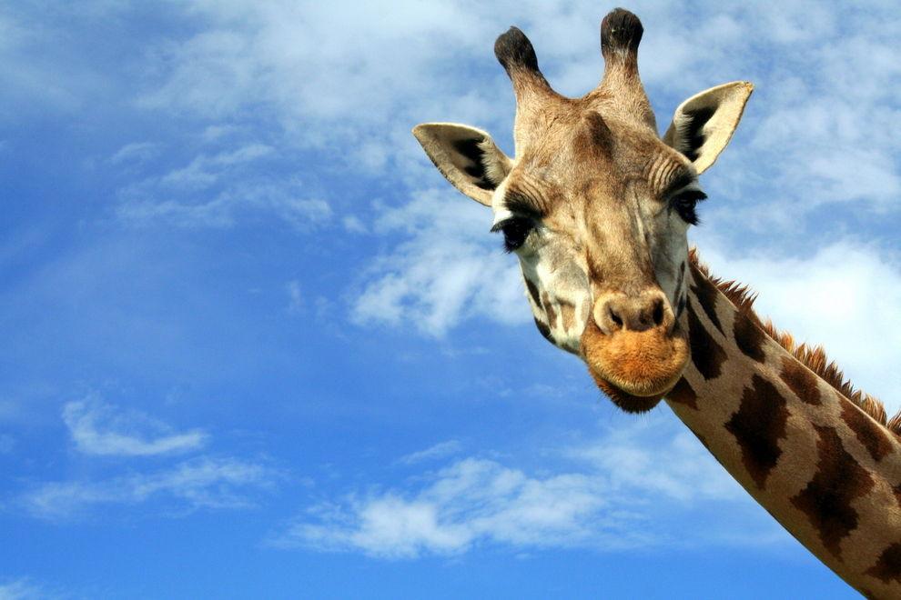 Giraffen vom Aussterben bedroht