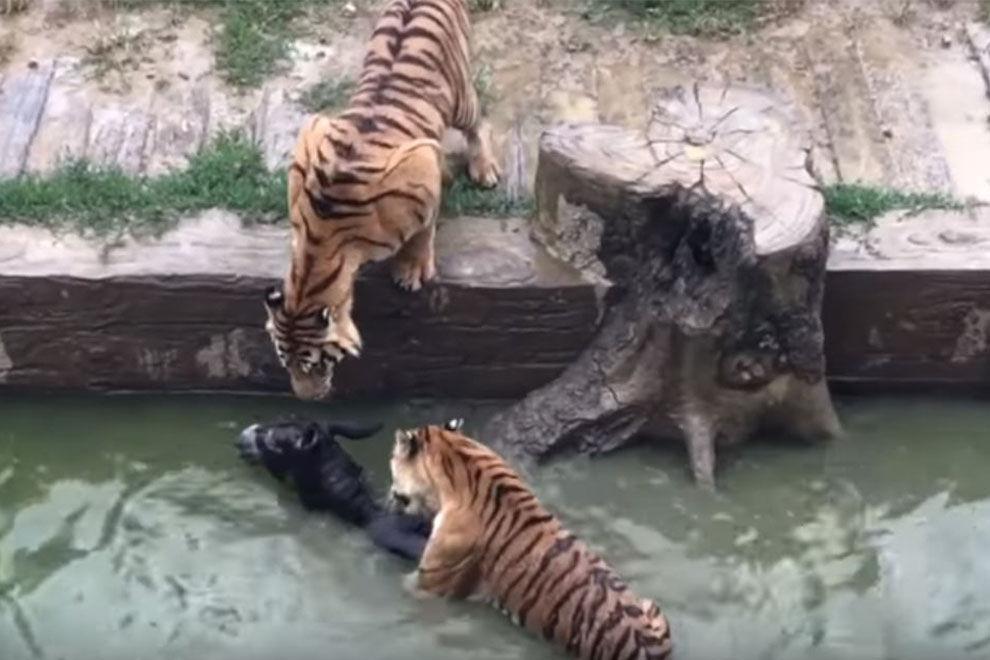 Ein Zoo verfüttert lebendigen Esel an Tiger