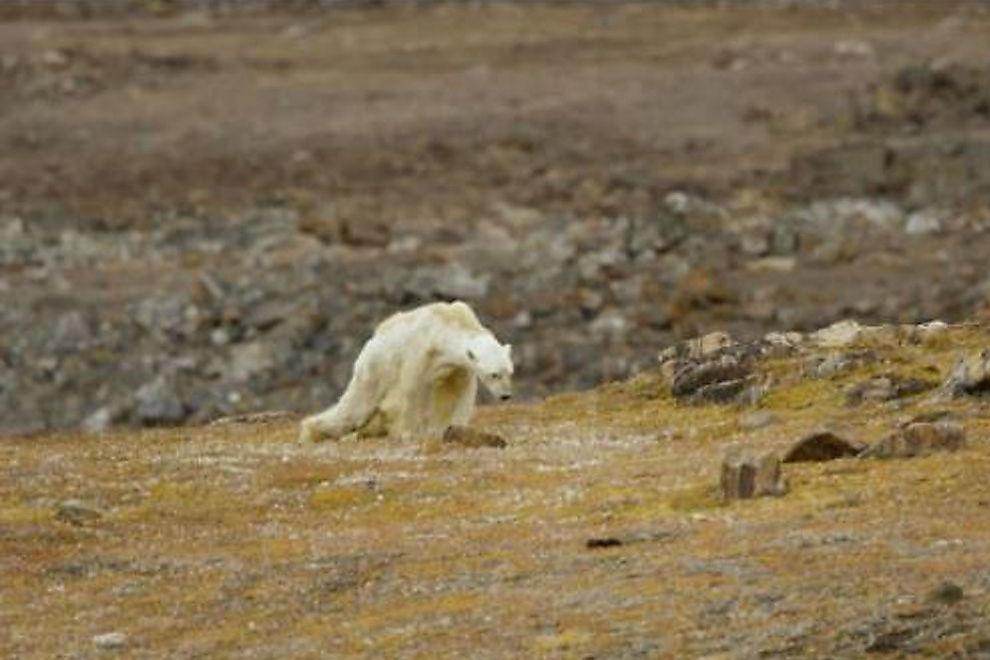 Dieser Eisbär verhungert vor laufender Kamera