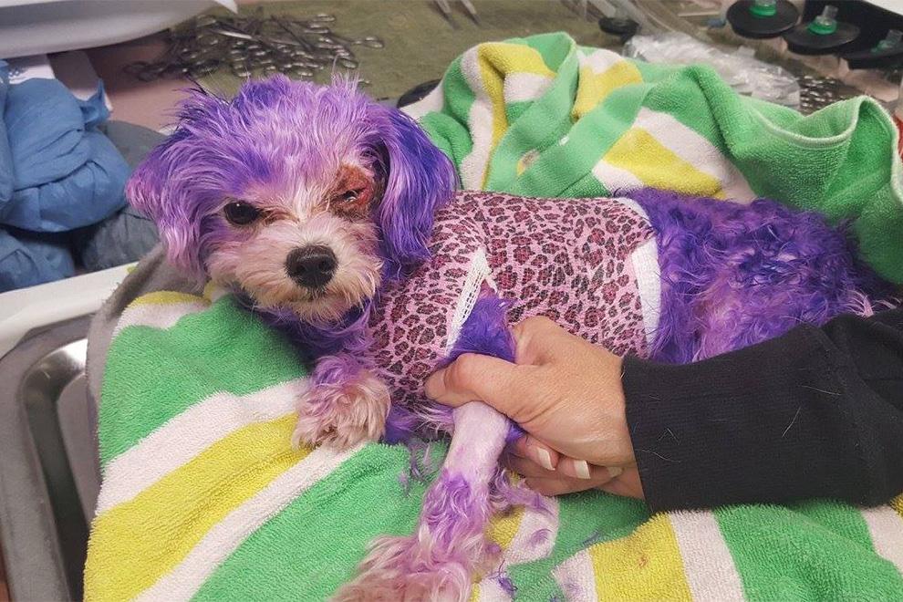 Kleiner Hund stirbt fast, weil Besitzer Fell lila färben will