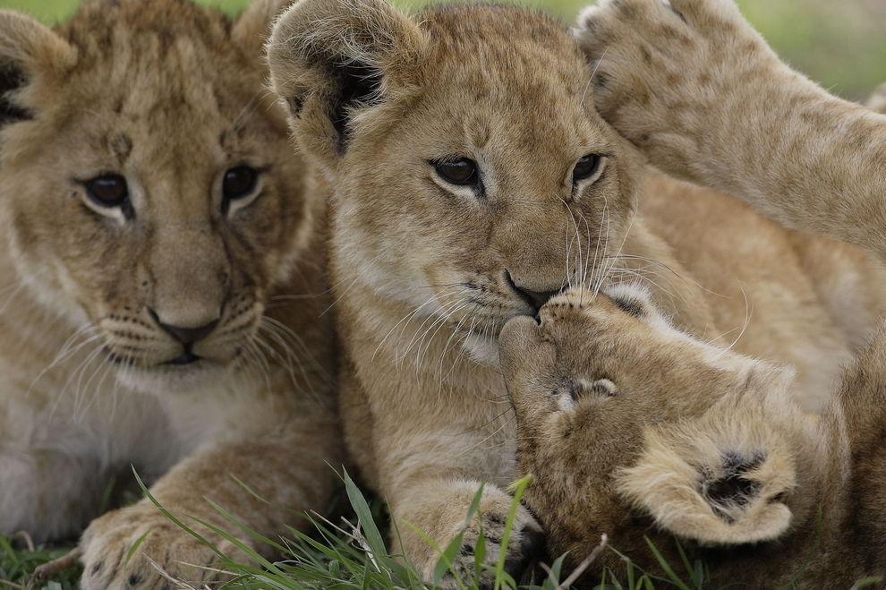 Schwedischer Zoo tötet 9 gesunde Löwenbabys
