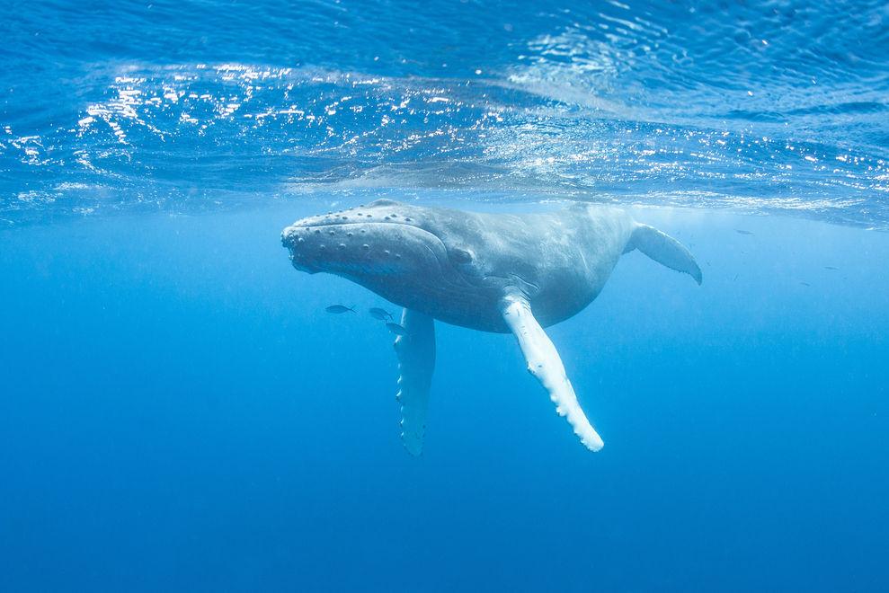 Buckelwal rettet Taucherin vor riesigem Hai