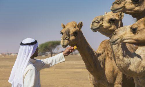 12 Kamele wegen Botox von Schönheitswettbewerb ausgeschlossen