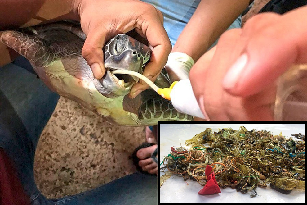 Thailand: Meeresschildkröte stirbt an Magen voller Plastikmüll