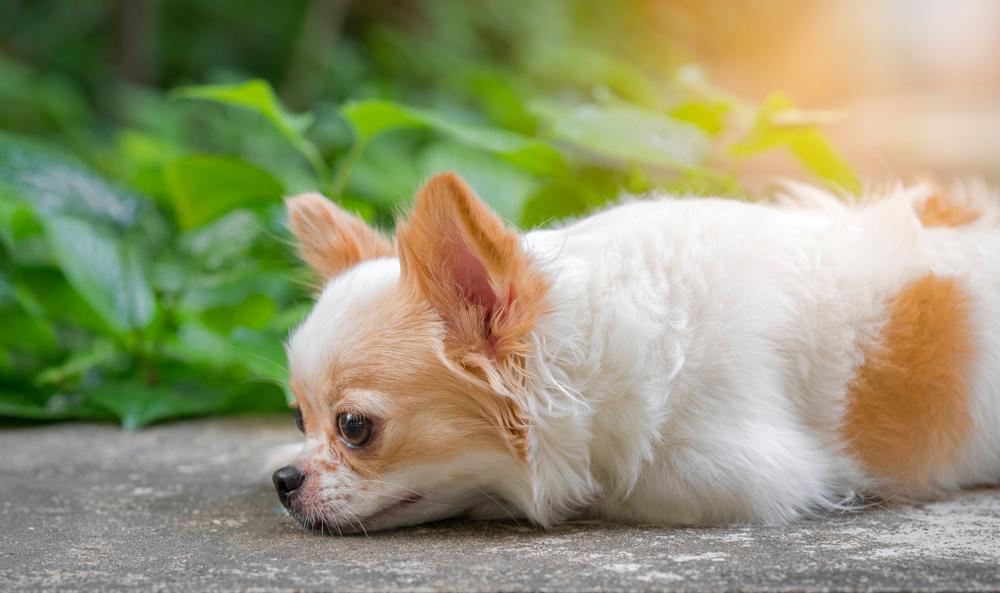 Paar in Großbritannien hortete 82 Chihuahuas