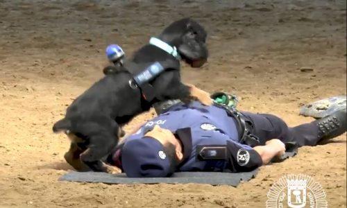 Polizeihund, der seinen Partner wiederbelebt, wird zum Internet-Star
