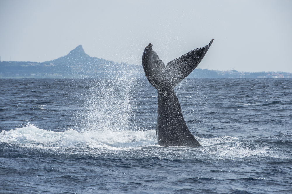 Japan will wieder mehr Wale fangen