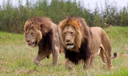 Eine Gruppe Nashorn-Jäger wurde in Afrika von Löwen gefressen