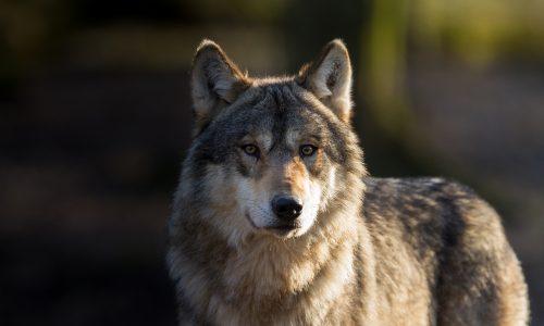 Deutschland: Wölfin erschossen und mit Betongewicht versenkt