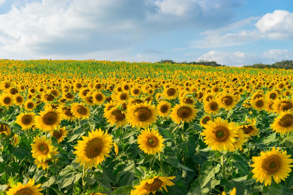 Instagramer sorgen für Chaos auf Sonnenblumen-Farm in Kanada