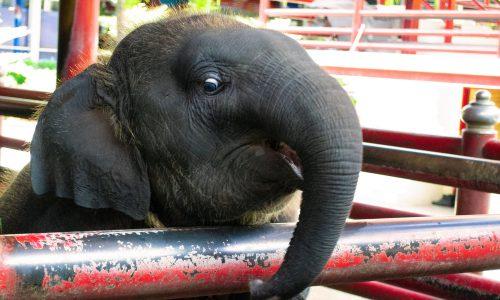 Tierquälerei als Attraktion: Elefant an Stromschlag gestorben