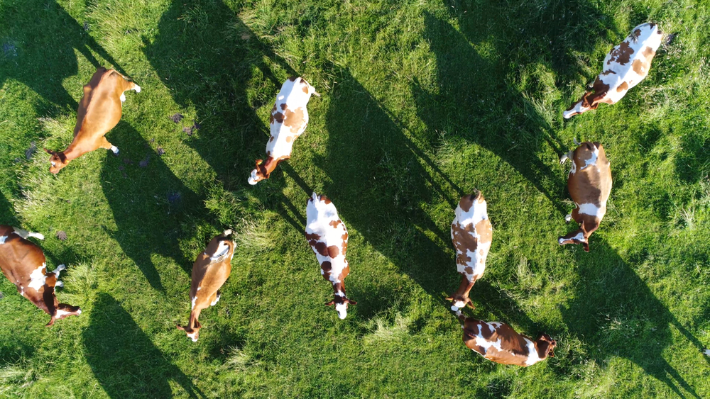 20-Jährige lässt 200 Kühe frei und und flüchtet nackt