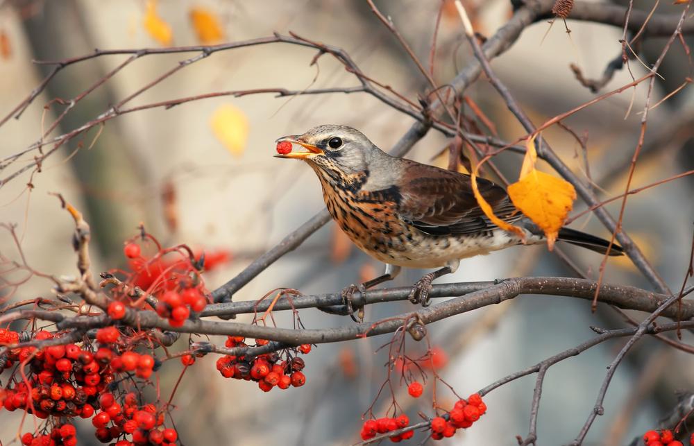 Betrunkene Vögel sorgen in einer Kleinstadt in den USA für Chaos