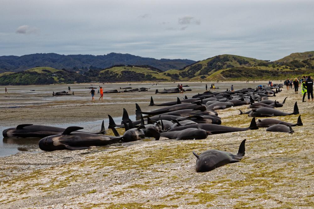 145 Wale in Neuseeland gestrandet und gestorben