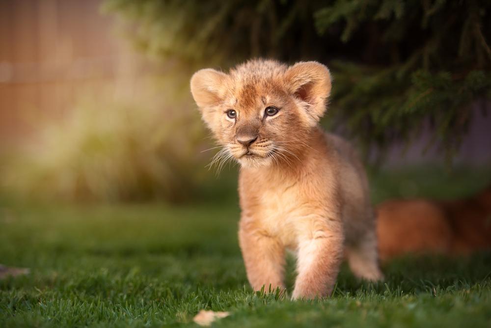 Erster König der Löwen-Trailer als Realfilm ist da