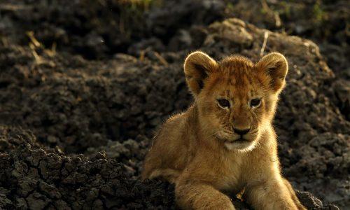 """Dieses süße Tier spielt beim Remake von """"Der König der Löwen"""" mit"""