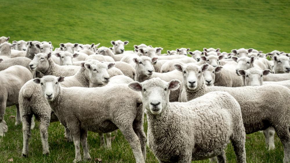 Sex mit Schaf-Video