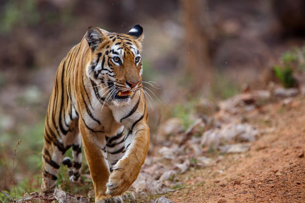 Tiger zerstückelt und gekocht: Tschechischer Tierhändler-Ring ausgehoben