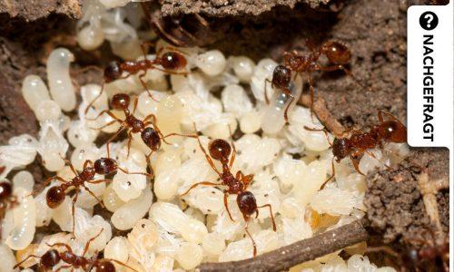 Dauerhafte Haarentfernung mit Ameiseneieröl – was steckt dahinter?