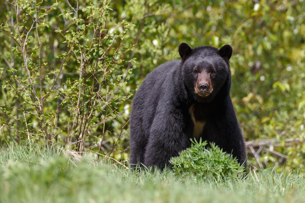 Dreijähriger Bub angeblich von Bär gerettet