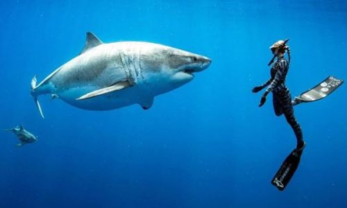 Spektakuläres Video: Taucher fanden gigantischen Weißen Hai vor Hawaii