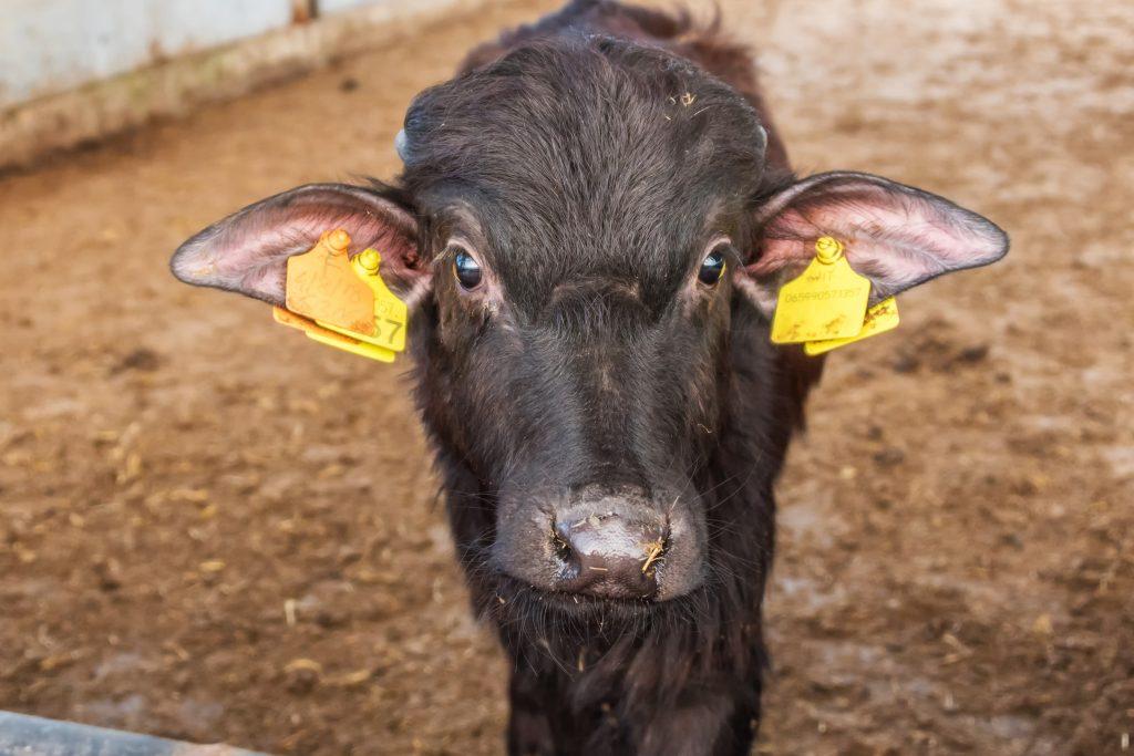 Büffelmozzarella: Warum Kälber dafür getötet werden