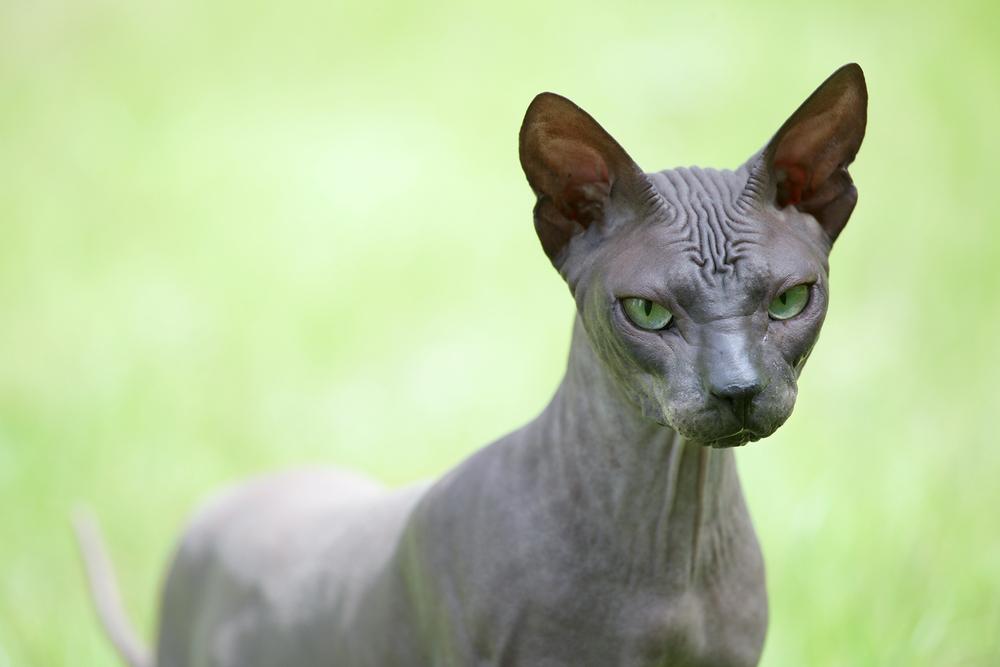 Frau schickt Katze zur Beauty-OP, weil sie ihr zu hässlich ist