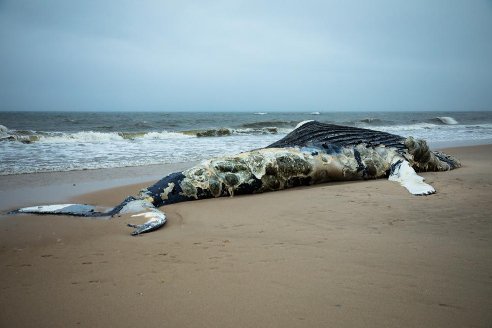 Wal stirbt wegen 40 Kilo Plastik im Magen