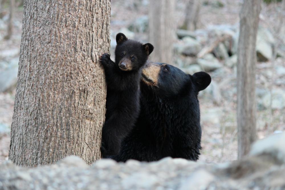 Illegale Bärenjagd: Wilderer töten Mutter und Jungen