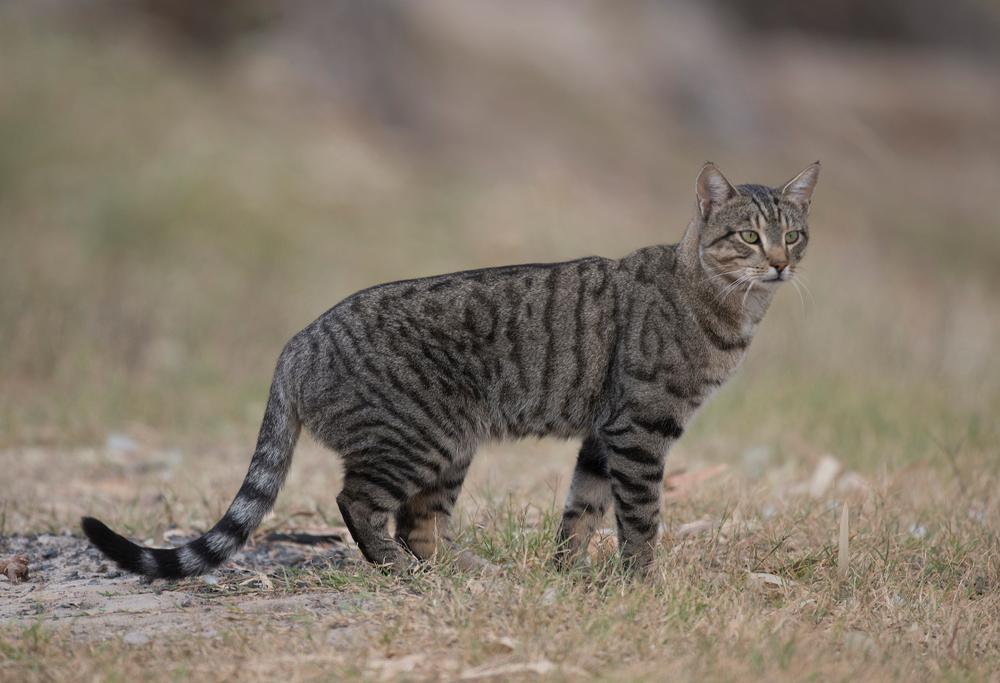 Australien will zwei Millionen verwilderte Katzen töten
