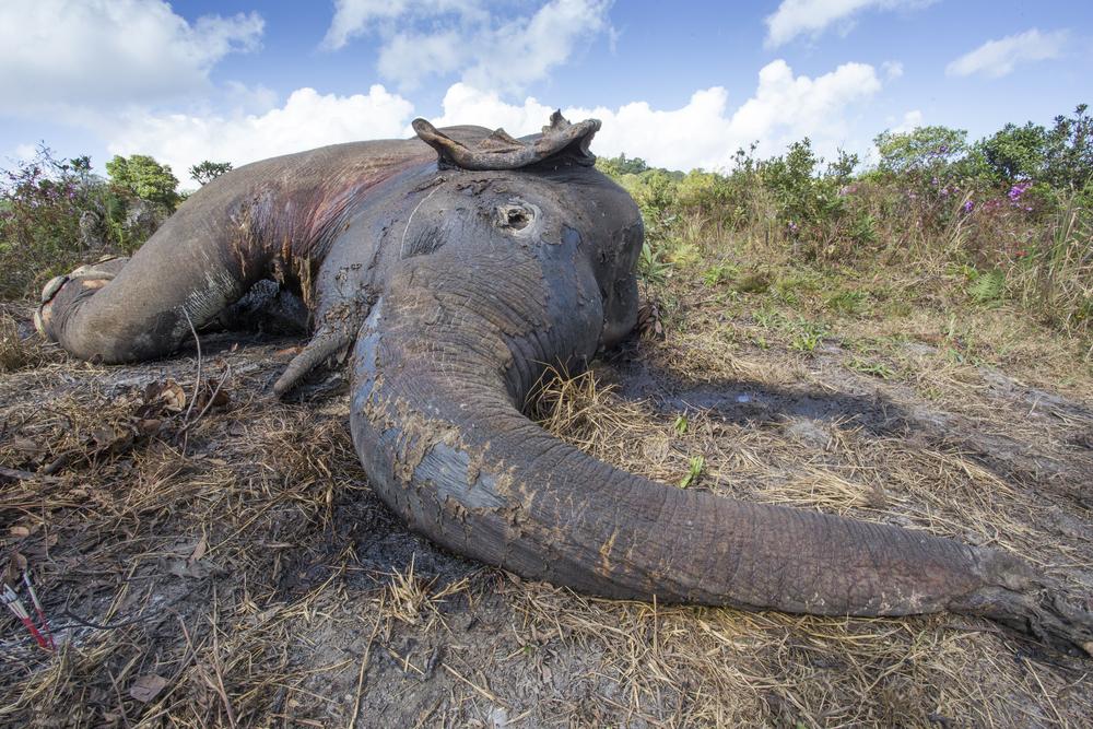 Botswana will Elefantenjagd erlauben