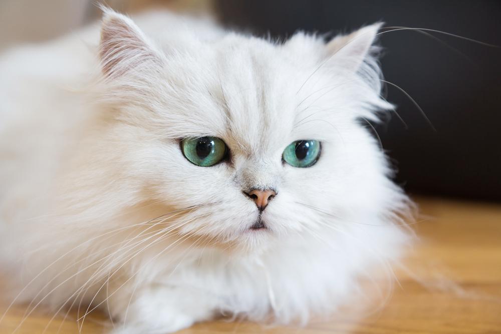 """Erste Katze in Österreich mit """"orientalischem Augenwurm"""" infiziert"""