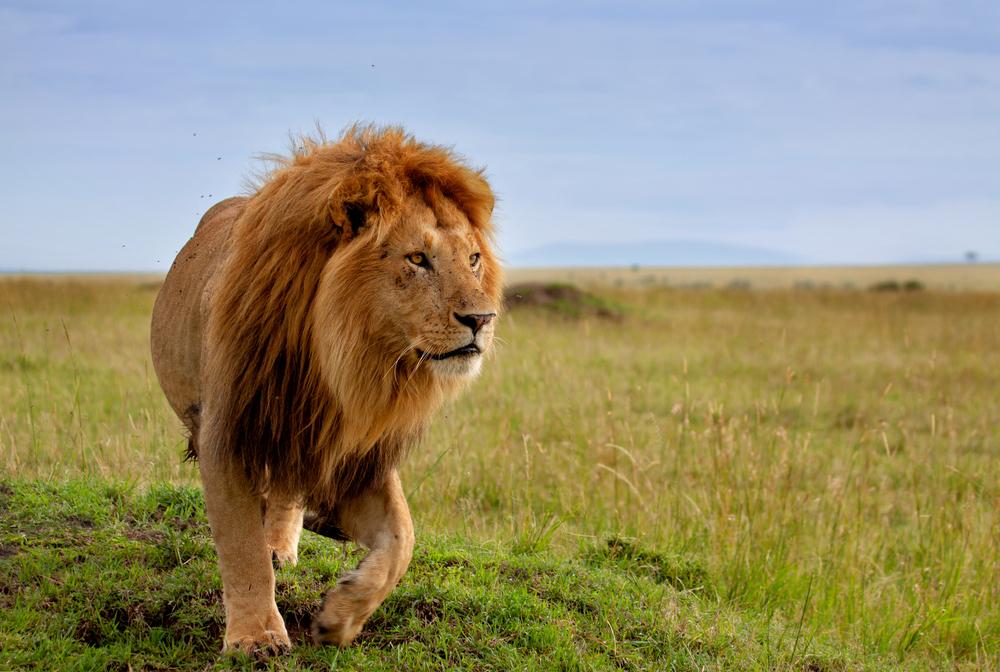 Wilderer in Afrika von Elefant getötet und von Löwen gefressen
