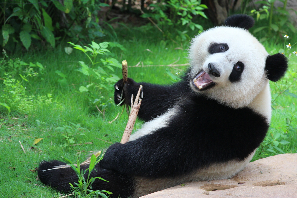 Erster Albino-Panda in China aufgetaucht