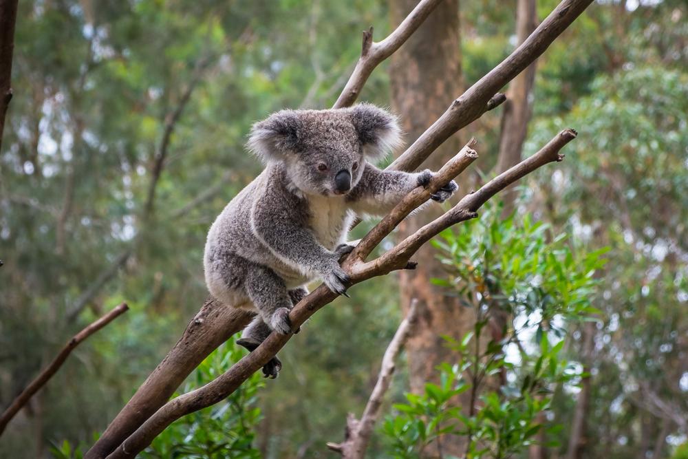 Koalas sind fast ausgestorben